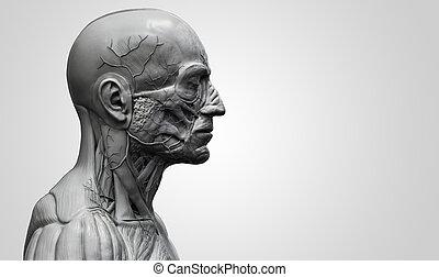 Human body anatomy of a male - Head and torso anatomy ,...