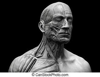 Human body anatomy of a man - Human anatomy - muscle anatomy...