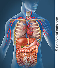 human Body  - Anatomy of the human body