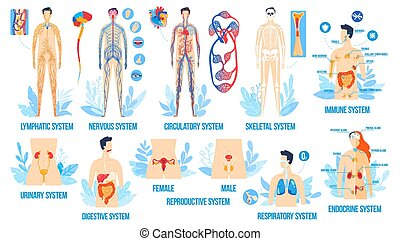 Human body anatomy, organ systems vector illustration set, ...