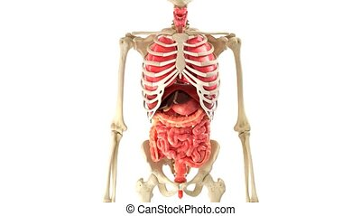 Human body and internal organs in loop rotation