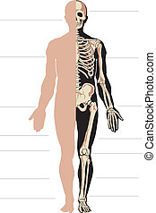 Human body and skeleton. Vector