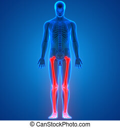 Human Body Bone Joint Pains Anatomy (Leg joints)