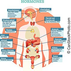 Human body hormones vector illustration diagram