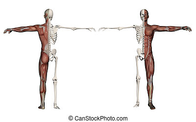 Human body of a man with  muscles and skeleton