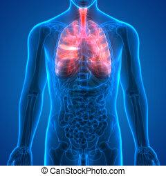 Human Body Organs (Lungs Anatomy)