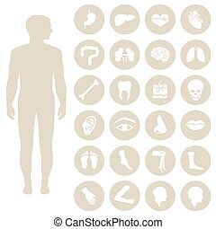 body parts - human body parts anatomy, vector medical organs...