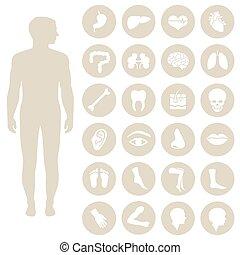 body parts - human body parts anatomy, vector medical organs...