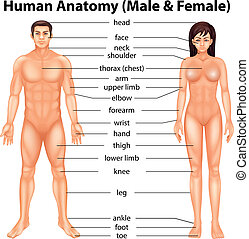 Human body parts - Illustration showing the human body parts