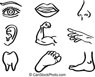 Human Body Parts Vector Illustration in Line Art Style - ...