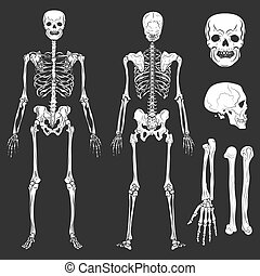 Human body skeleton bones and joints vector isolated flat...