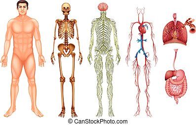 Human body systems - Various human body systems and organs