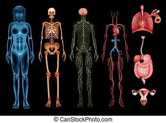 Human body systems - The human body systems and organs on a...
