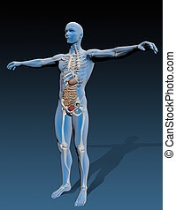 Human body with internal organs, composite by stomach, Great...