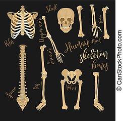 Human bones image