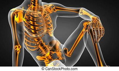 human bones radiographic scan.