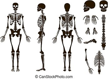 Human bones skeleton structure elements set. Skull collection. Vector illustration