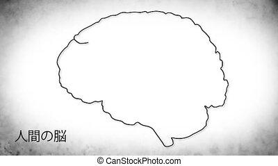 Human Brain 03 Japanese - The human brain structure...