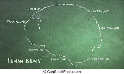 Human Brain 13 - The human brain structure animation...
