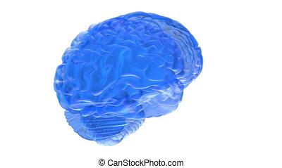 Human brain 3D render - Human brain on white background....