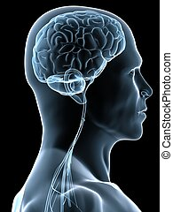 human brain - 3d rendered illustration of a human head shape...