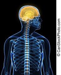 human brain - 3d rendered x-ray illustration of human head...