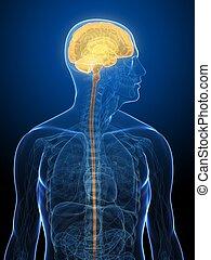 human brain - 3d rendered x-ray illustration of human head ...
