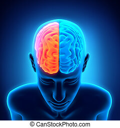 Human Brain Anatomy. 3D render