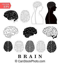Human Brain Anatomy Collection set anterior inferior lateral...