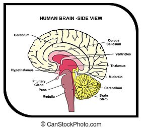 Human Brain Anatomy Diagram cross section with all lobes and...