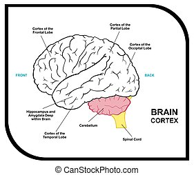 Human Brain Anatomy Diagram including cortex of frontal...