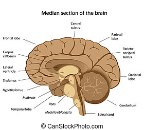 Human brain anatomy, eps8 - Median section