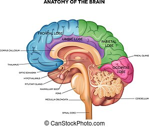 Human brain anatomy - Human brain lobes, beautiful colorful...