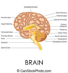Human Brain Anatomy - vector illustration of diagram of ...