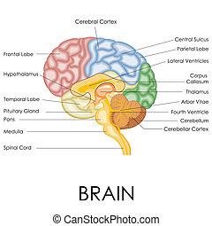 Human brain anatomy . Human brain lobes, beautiful colorful ...