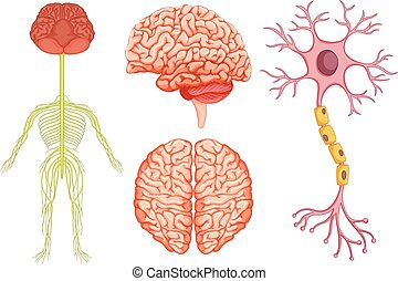 Human brain and stem cell