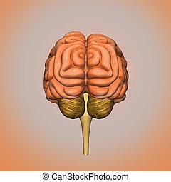 Human brain back