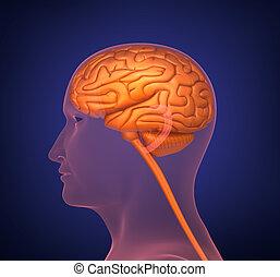 Human brain. Cross section