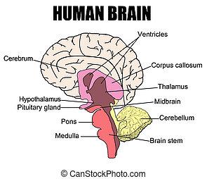 Human Brain - Anatomy of human brain, vector illustration...