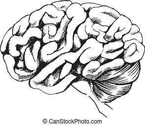Human brain - Illustration of the human brain on a white...