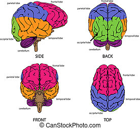 Human brain from all sides with sections in different colors...