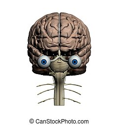 Human brain frontal view