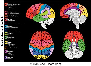 Human Brain Functional infographic diagram