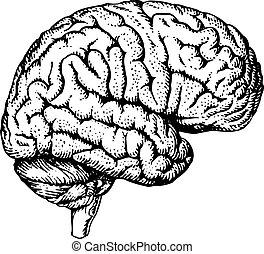 Human brain - Human brain on white background