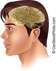 Human Brain - Illustration of the human brain