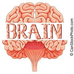 Human brain in closer look illustration
