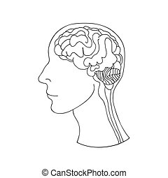 Human brain in the head, side view.