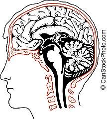 Human brain in the head
