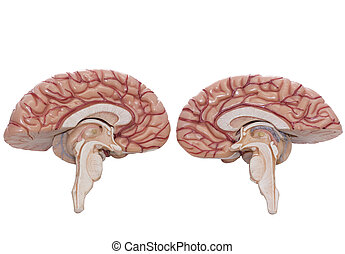 Human brain model isolated on the white background
