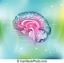 Human brain on a abstract light blue background, detailed ...